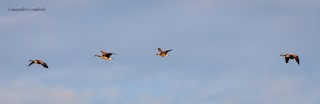 Greater White-fronted Goose, ML83741871