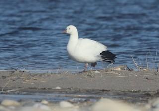 Ross's Goose, ML83778551