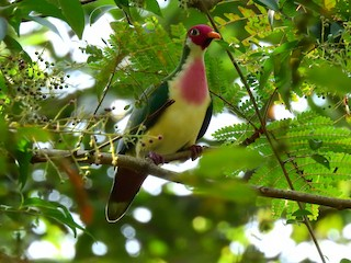 - Jambu Fruit-Dove