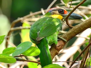 - Gold-whiskered Barbet (Gold-whiskered)