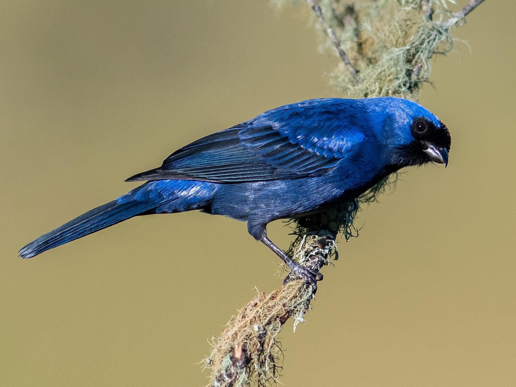 Diademed Tanager - Hudson - BirdsRio