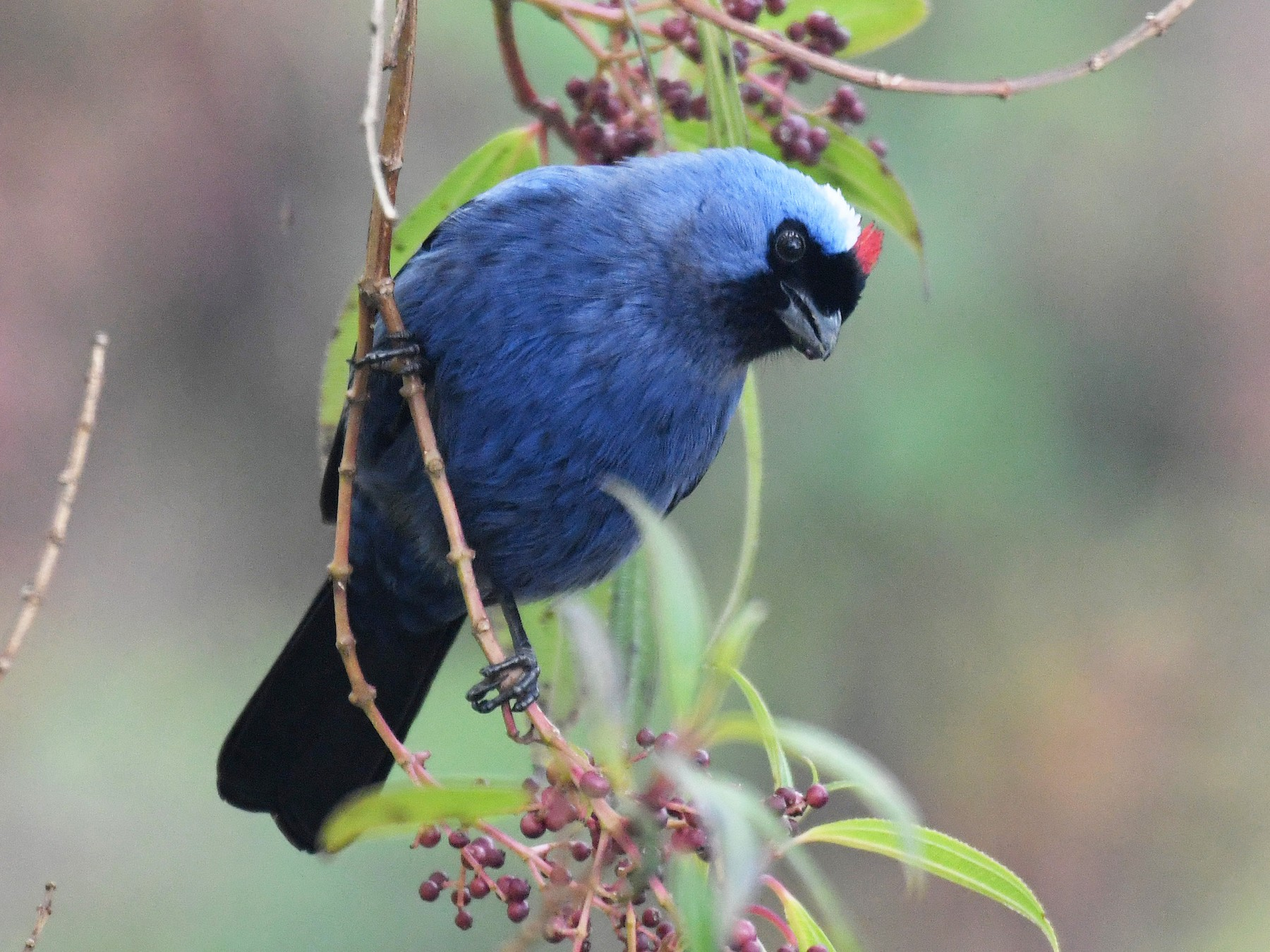 Diademed Tanager - Brian Henderson