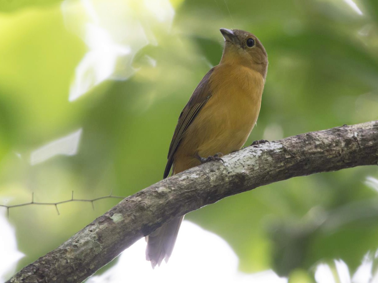 Flame-crested Tanager - Marco Silva