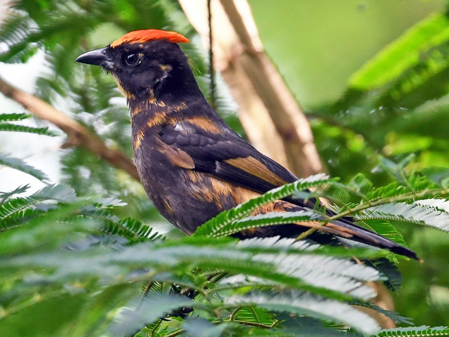 Flame-crested Tanager - Roy Wiering