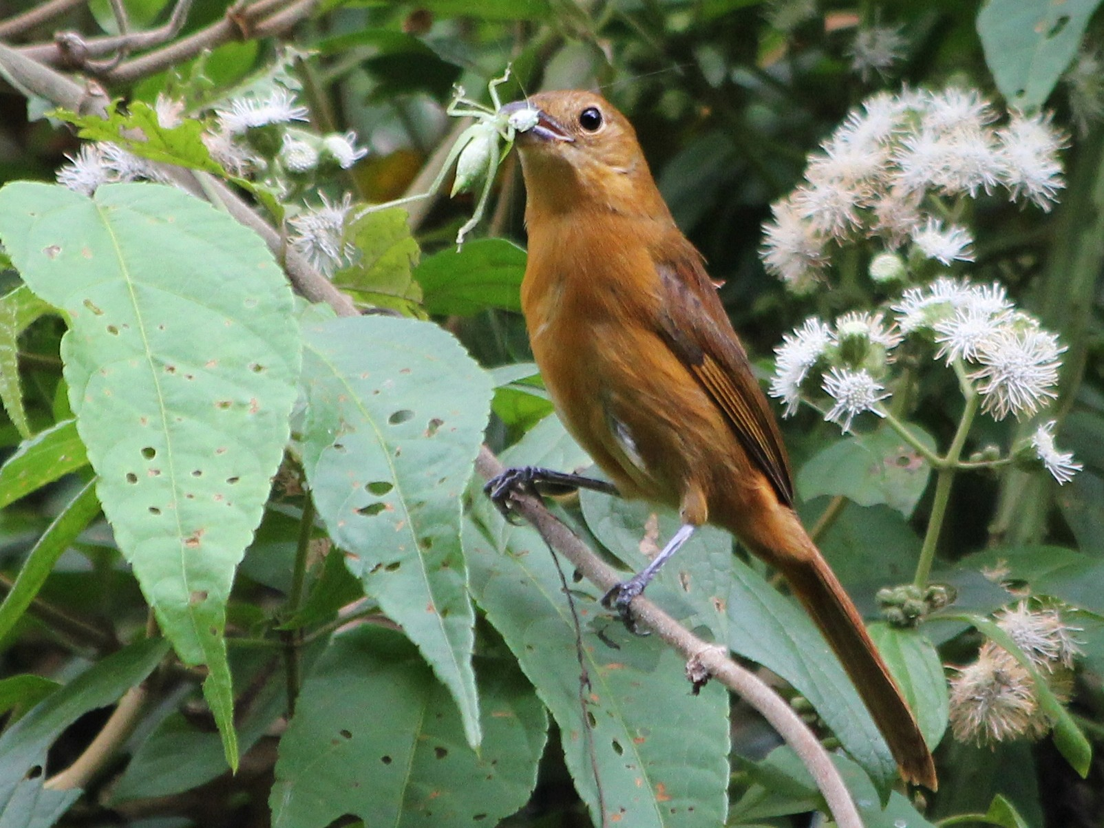 Flame-crested Tanager - Guilherme  Willrich