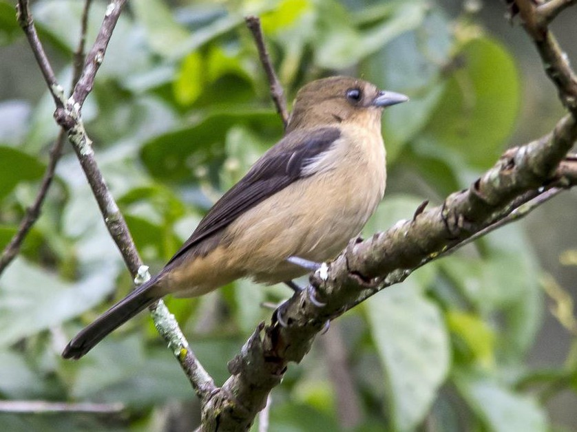 Black-goggled Tanager - Marco Silva