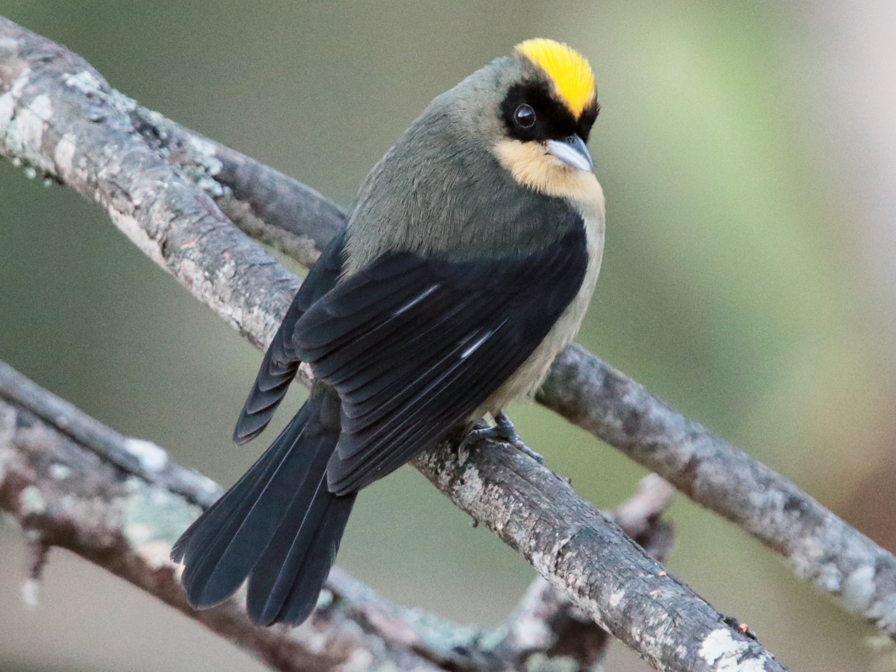 Black-goggled Tanager - Arco Huang