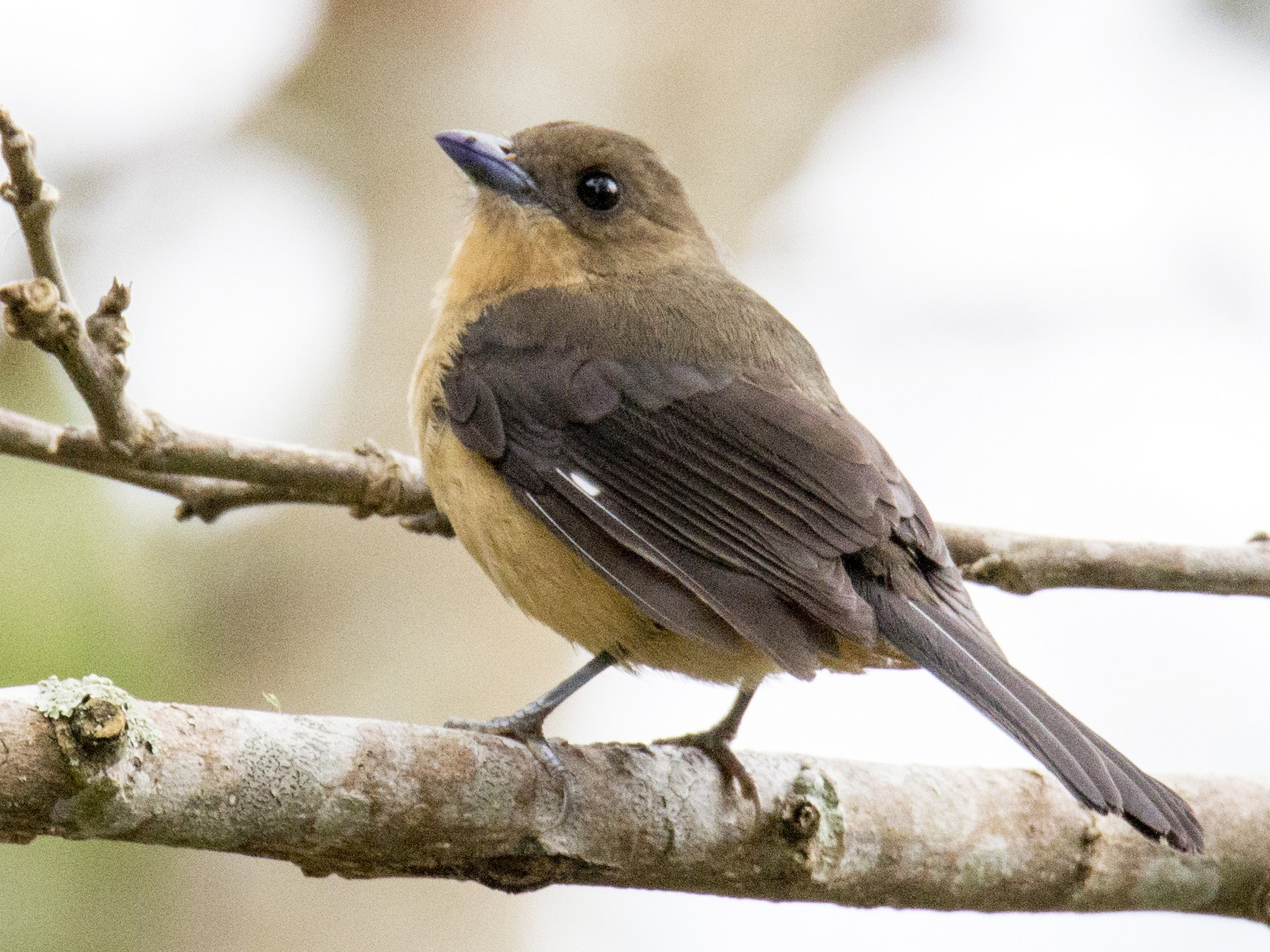 Black-goggled Tanager - W. Scott Young
