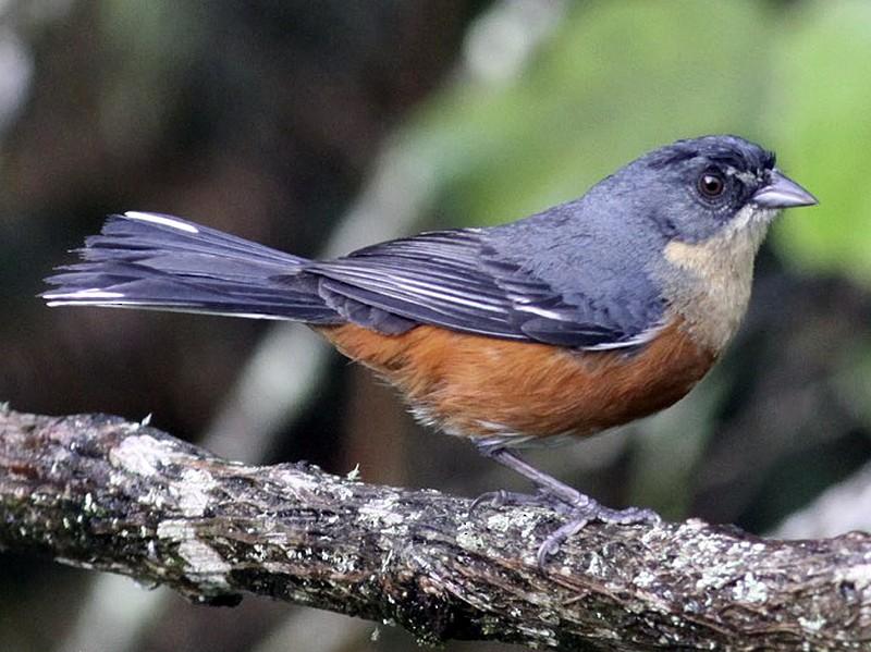 Buff-throated Warbling-Finch - Knut Hansen