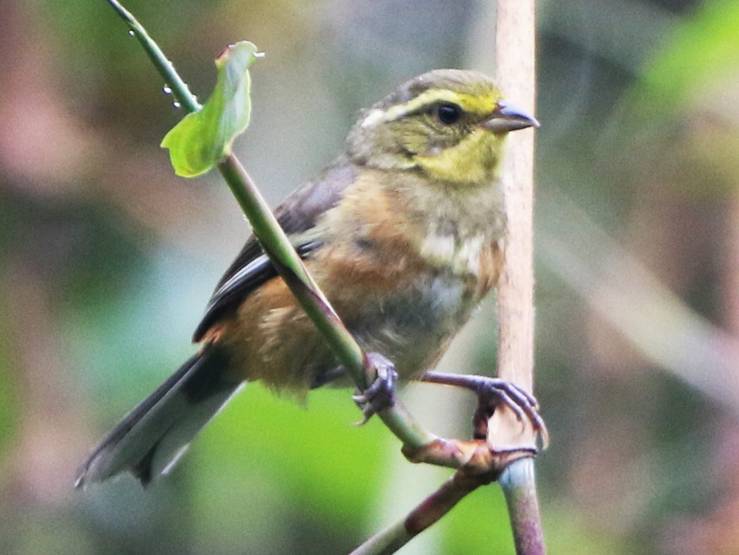 Buff-throated Warbling-Finch - Ian Thompson
