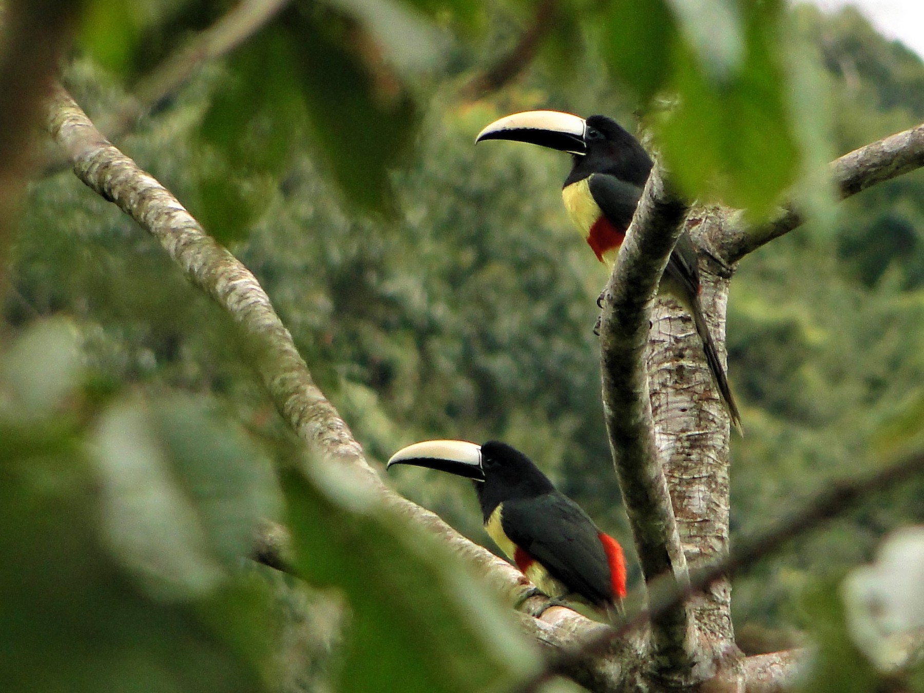 Black-necked Aracari - Carlos Otávio Araujo Gussoni