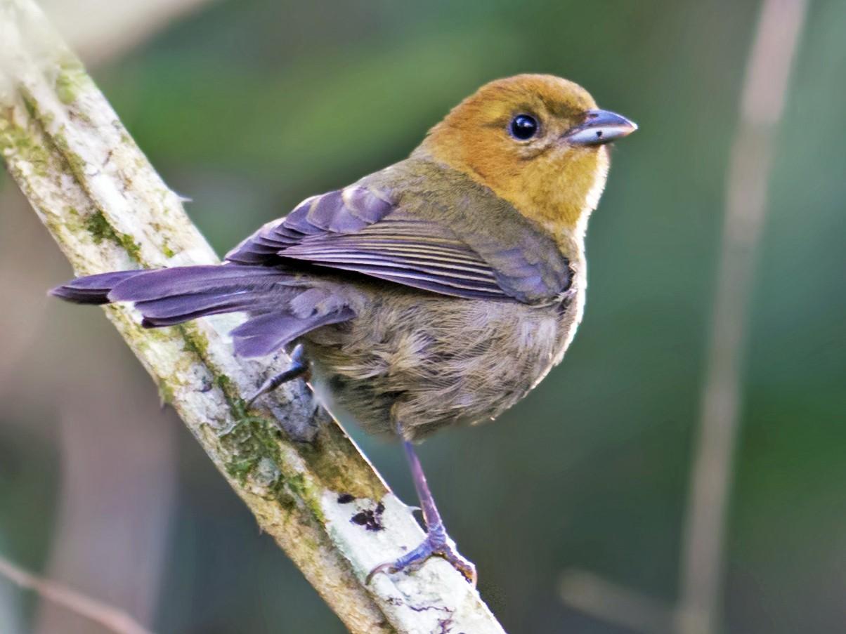 Chestnut-headed Tanager - Hudson - BirdsRio