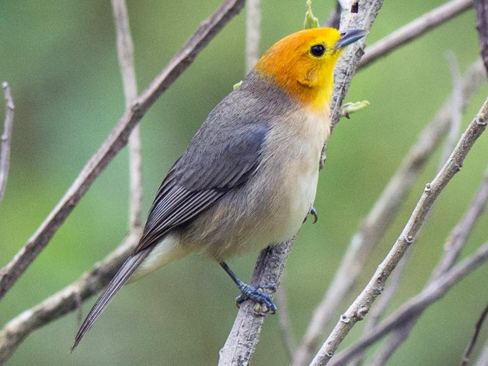Orange-headed Tanager - Hudson - BirdsRio