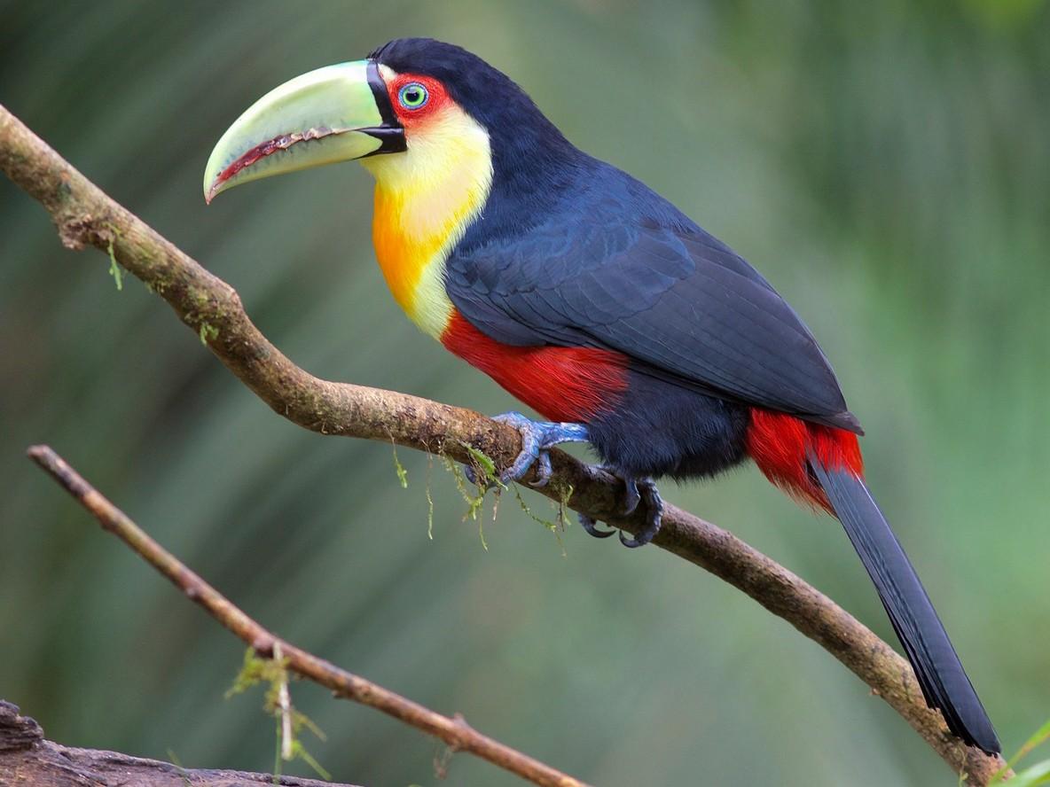 Red-breasted Toucan - Luiz Matos