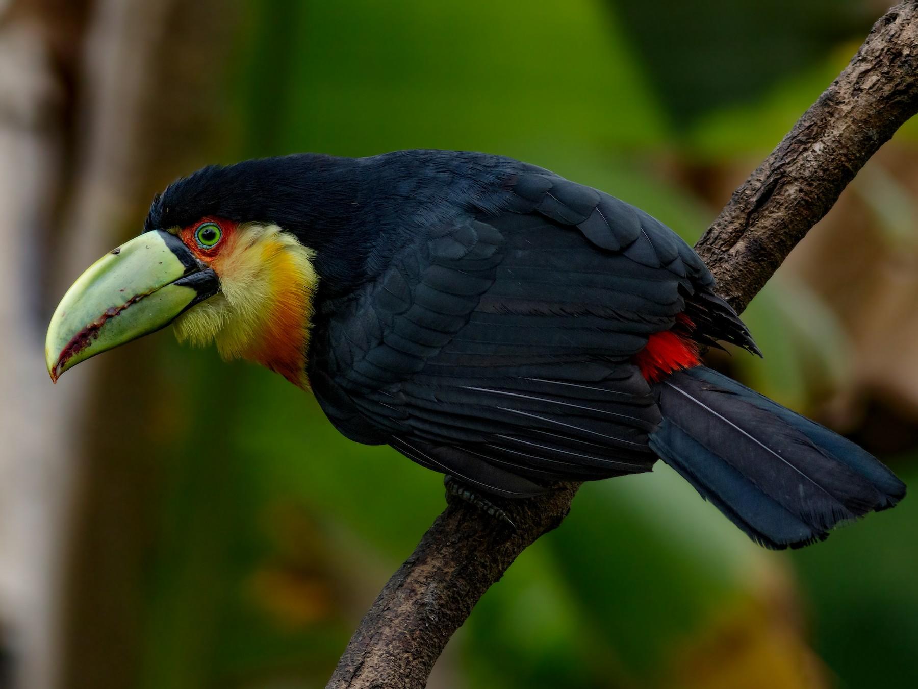 Red-breasted Toucan - Kacau Oliveira
