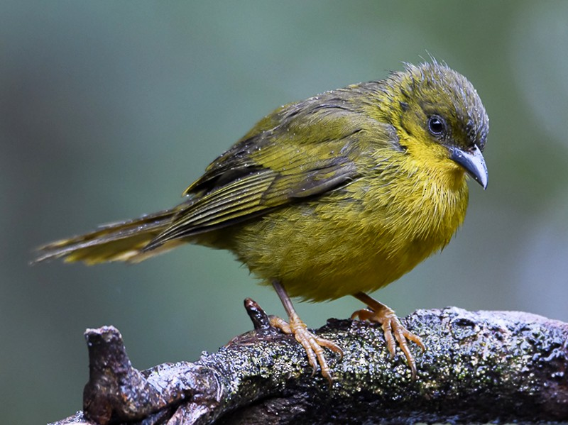 Olive-green Tanager - Nereston Camargo