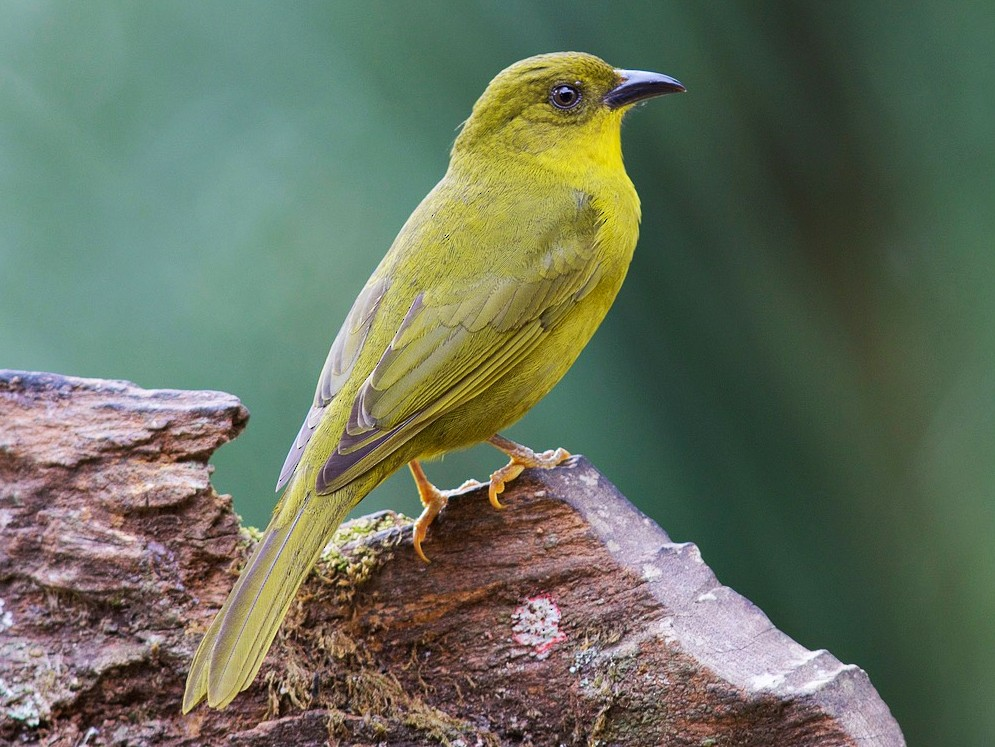 Olive-green Tanager - Luiz Matos