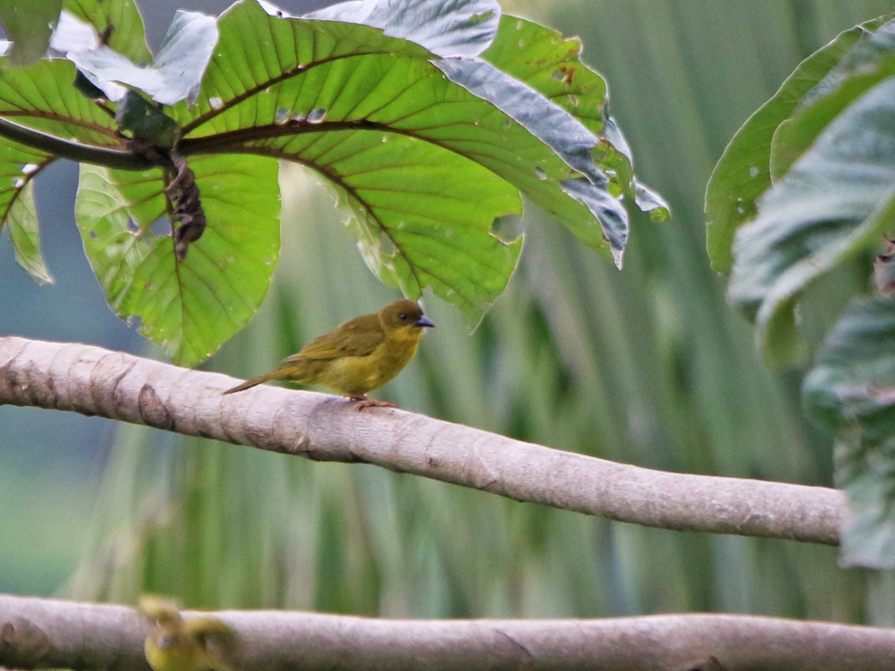 Olive-green Tanager - Ian Thompson