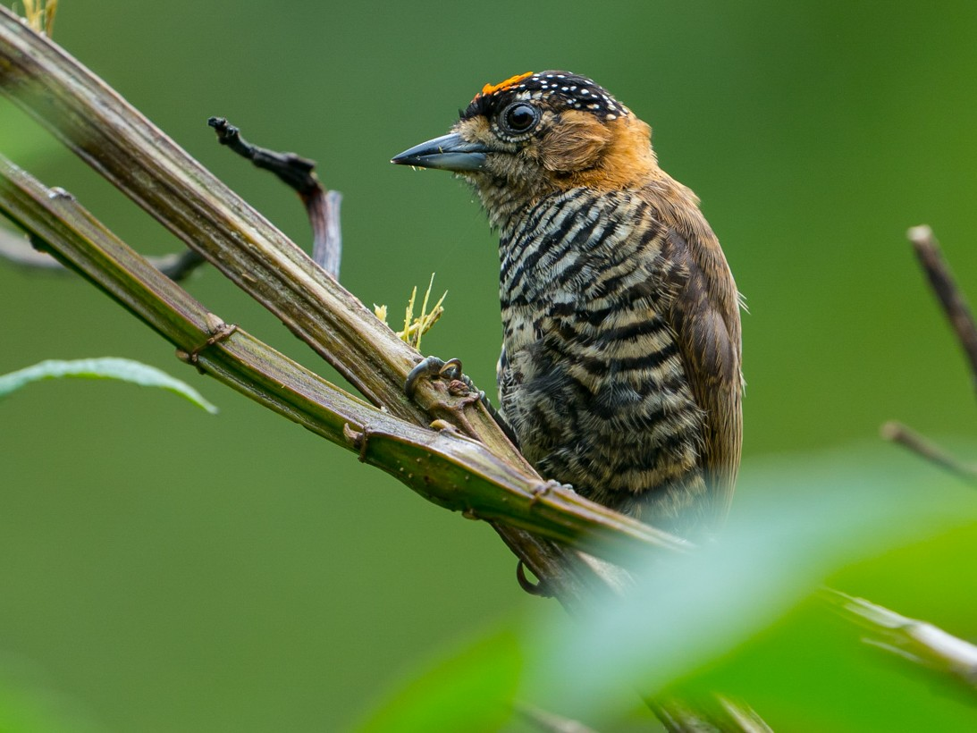 Ochre-collared Piculet - Joao Quental JQuental