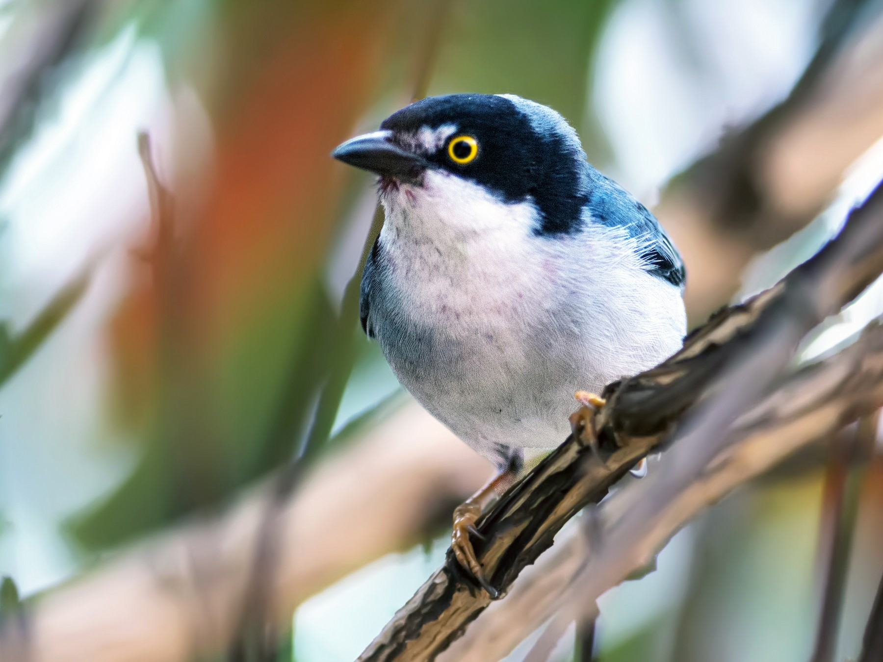 Hooded Tanager - Hudson - BirdsRio