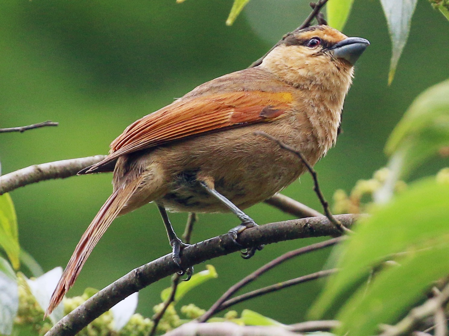 Brown Tanager - Tommy Pedersen