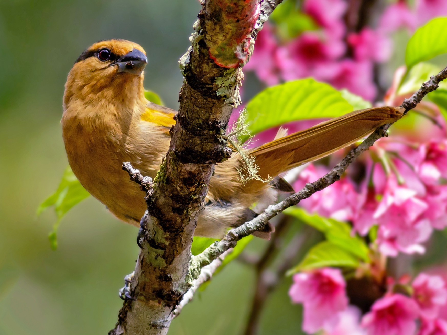 Brown Tanager - Kacau Oliveira