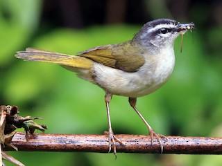 - Riverbank Warbler