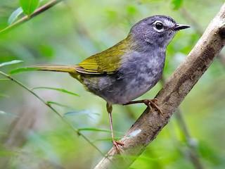 - White-browed Warbler