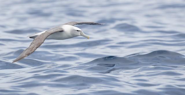 White-capped Albatross ML84101541