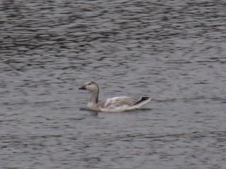 Snow Goose, ML84147951