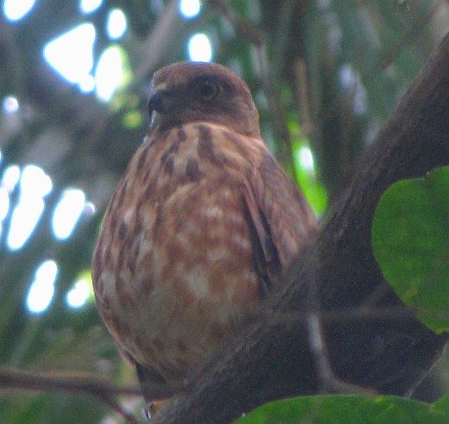 Nicobar Sparrowhawk - AP Zaibin