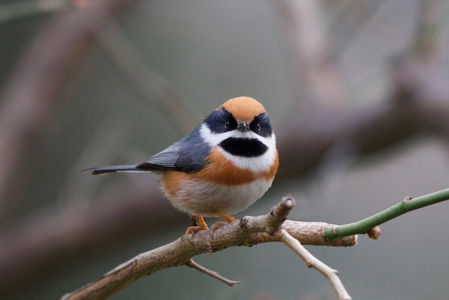 Black-throated Tit (Black-throated)
