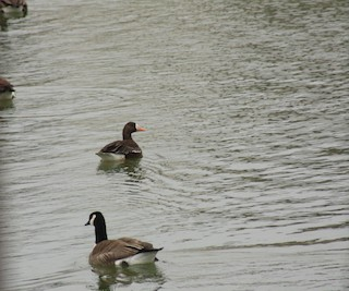 Greater White-fronted Goose, ML84221291