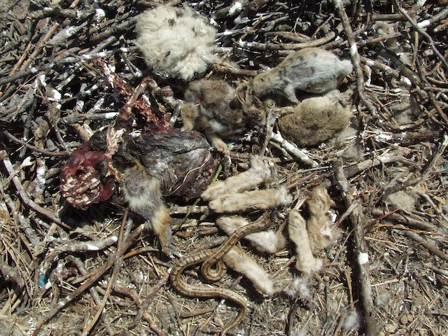 A variety of prey items in a nest.