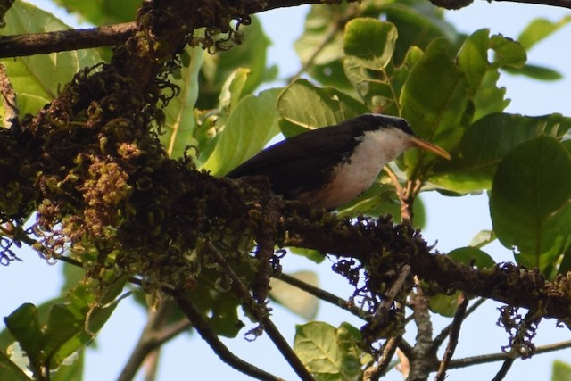 Indian Scimitar-Babbler