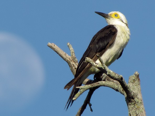 White Woodpecker - Fabricio Gorleri
