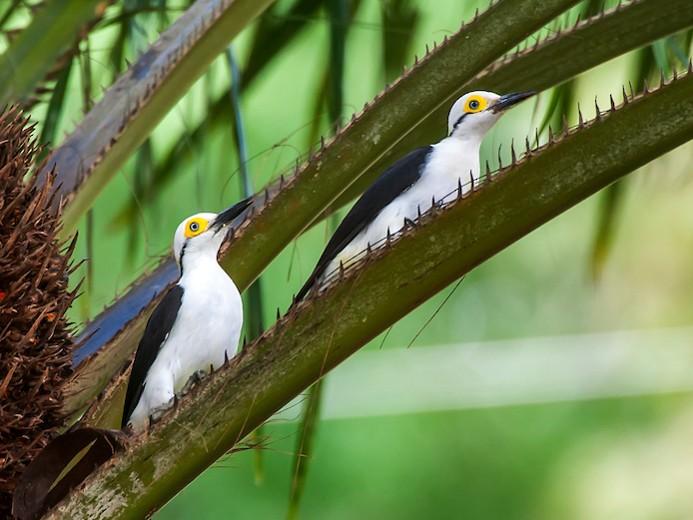 White Woodpecker - Leonardo Merçon / Instituto Últimos Refúgios