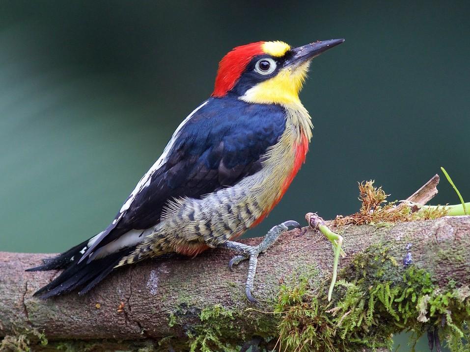 Yellow-fronted Woodpecker - Luiz Matos