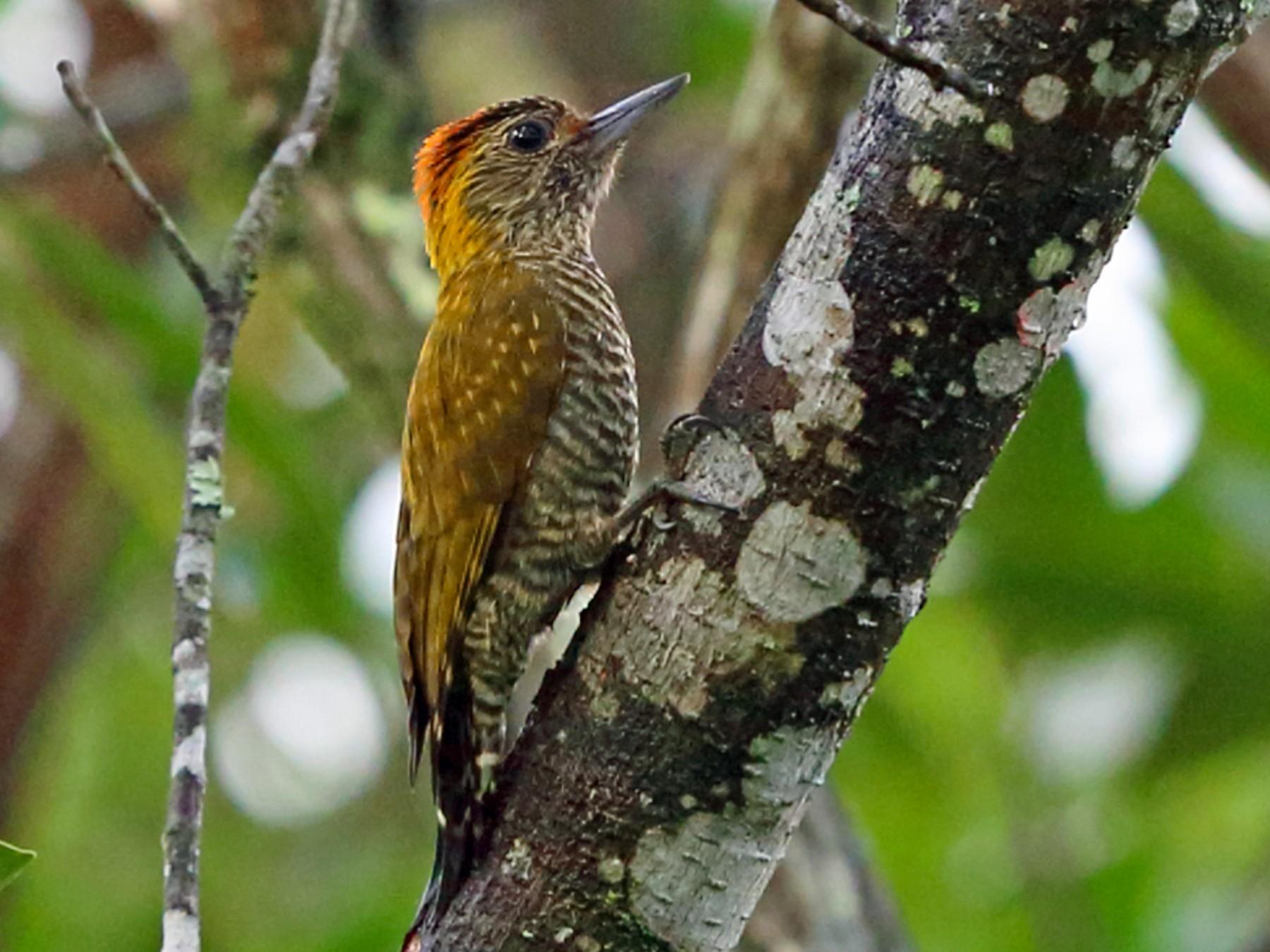 Yellow-eared Woodpecker - Nigel Voaden