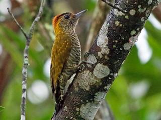- Yellow-eared Woodpecker