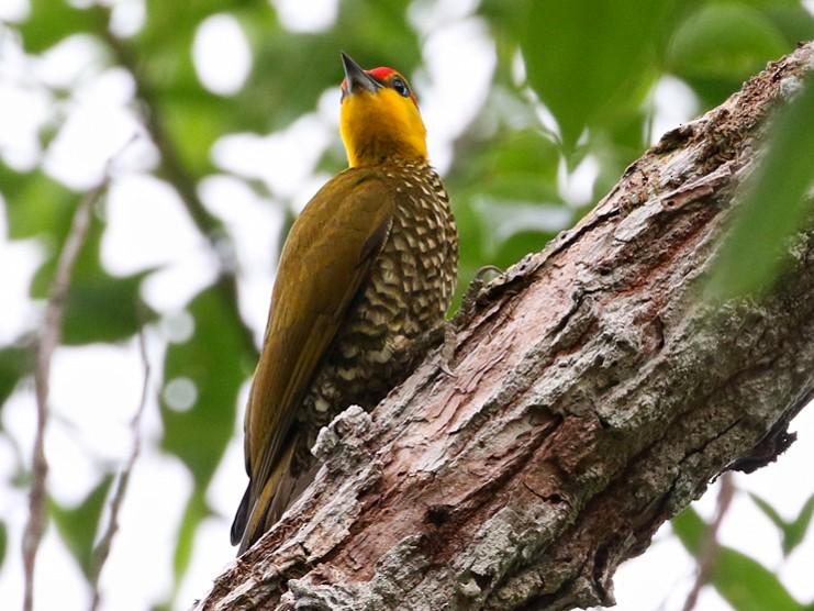 Yellow-throated Woodpecker - Charley Hesse https://www.schoolofbirding.com/