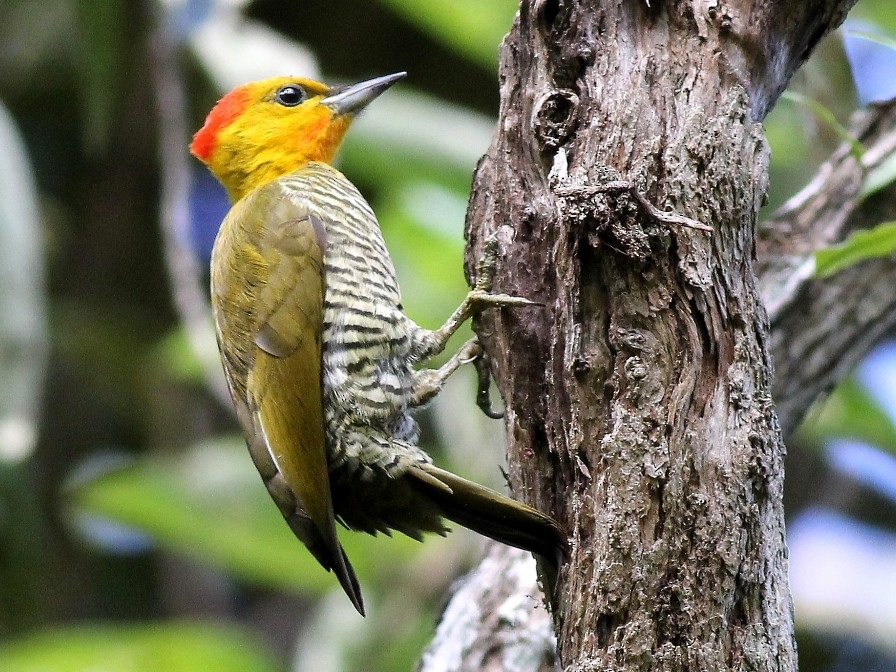 Yellow-throated Woodpecker - Jason Leifester