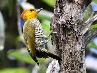 - Yellow-throated Woodpecker