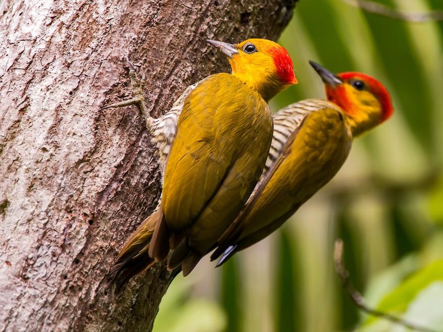 Yellow-throated Woodpecker - Leonardo Merçon / Instituto Últimos Refúgios