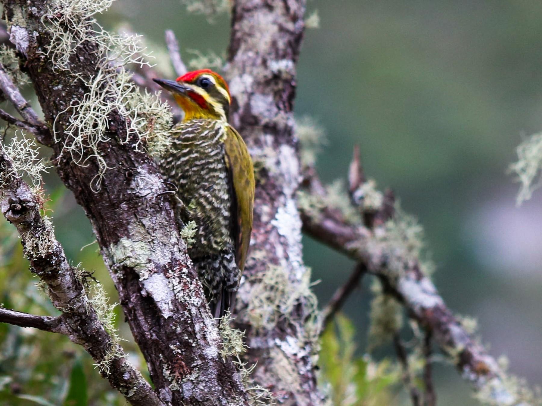 White-browed Woodpecker - Lucas  Almeida