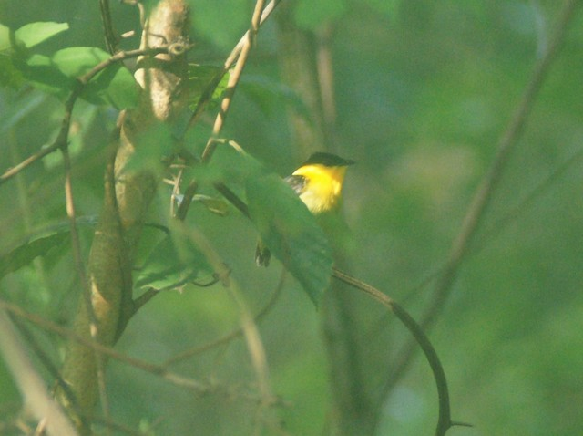 Golden-collared Manakin