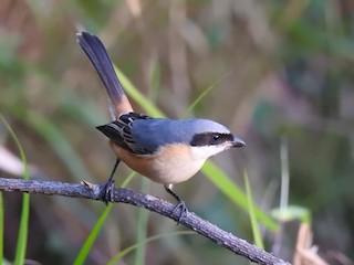 - Gray-backed Shrike