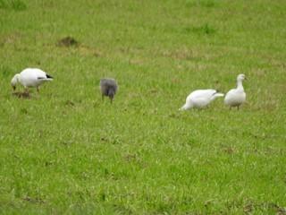 Ross's Goose, ML84466121