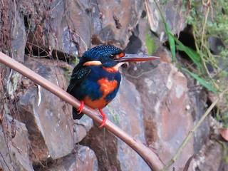 - Indigo-banded Kingfisher