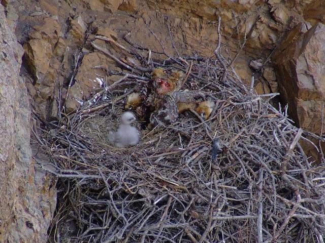 Nest (Hentiy, Mongolia)